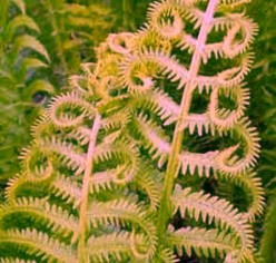 Fern - Enduring Colors of Life