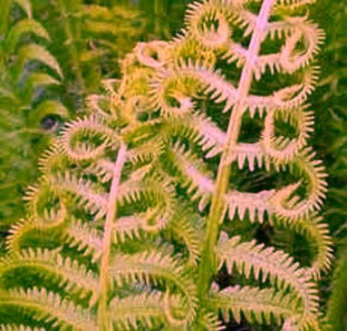 Fern 010 - Copyright © 2012 - 2013 Pearldiver Images with all rights reserved