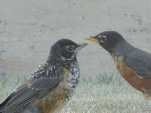 American Robin mother(right) with her fledgling(left)