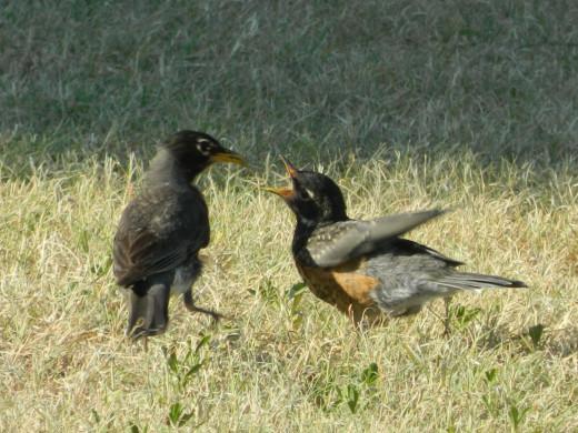 American Robin feeding her fledgling