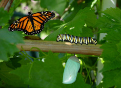 Monarch Butterfly Life Cycle for Kids