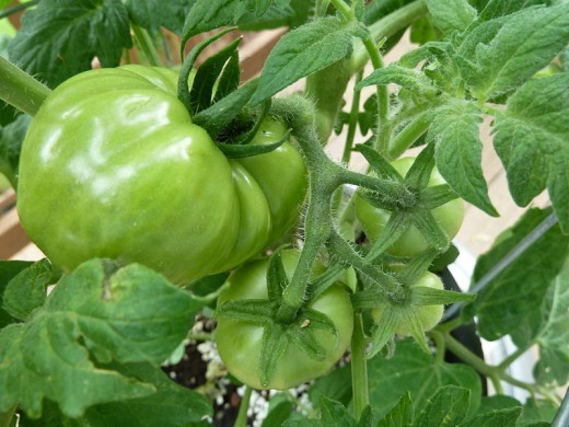 Green tomatoes still on the vine
