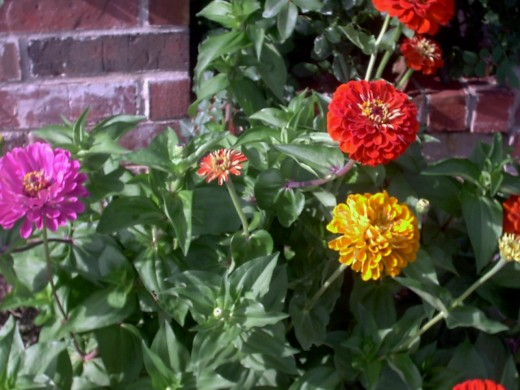 all rights reserved, Marigolds