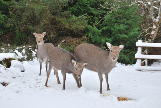 The deer wearing their winter coat.