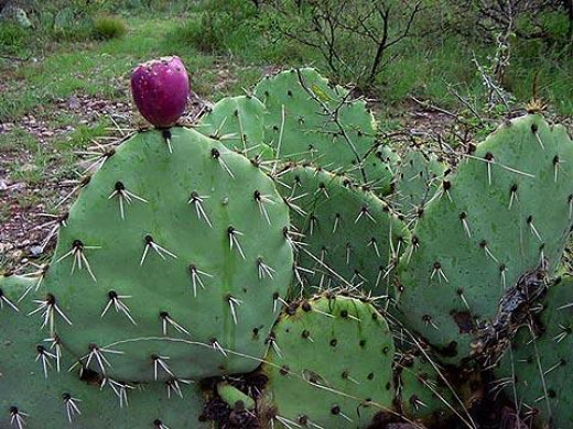 Prickly Tuna Pear Cactus