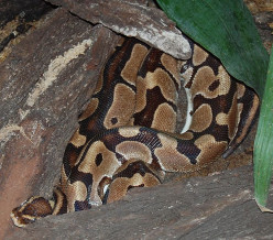 The Ball Python: Beautiful Reptile