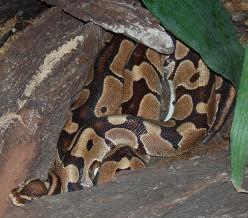 The Ball Python: Beautiful Reptile