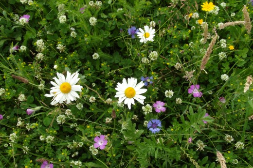 White clover, oxeye daisies and cornflower and corncockle in a wildflower meadow