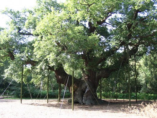 Major Oak, the oldest oak in Sherwood Forest and one of the oldest in England.