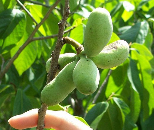A paw paw plant, with fruit.