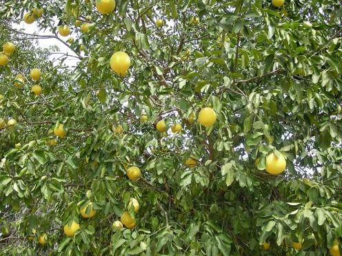Grapefruit Tree with Fruit