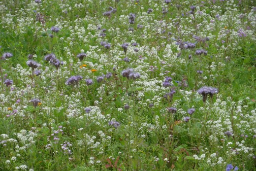 Bee friendly meadow including Phacelia and Alyssum