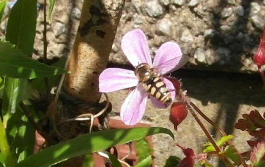 hoverfly on herb robert