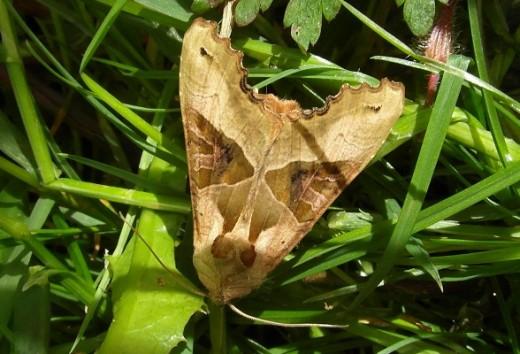 Angle shades moth amongst grass