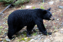 NM State Animal: Black Bear [5]