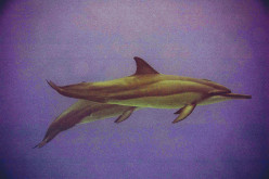 Human Dolphin Relation – A Diverse History