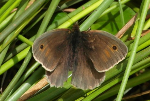 Meadow brown on grass