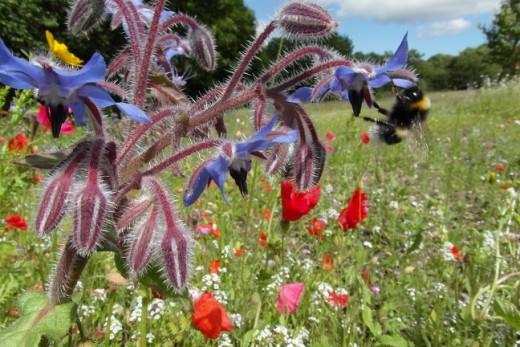 Wild tailed bumblebee on borage