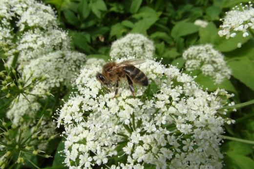 honeybee on greater burnet saxifrage