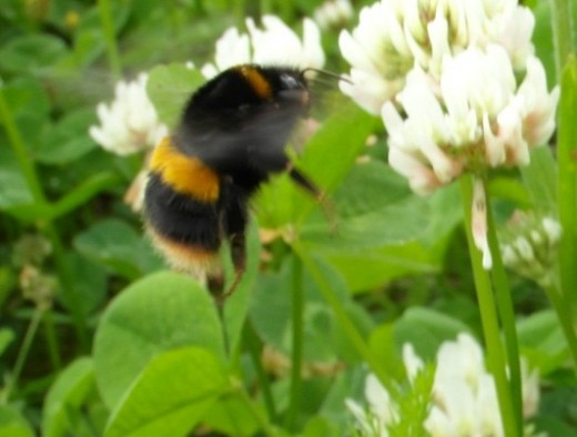 Buff tailed bumblebee on clover
