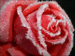 Rose poetry by Ashley Pentycofe