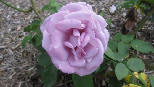 Rosa 'Vol de Nuit'