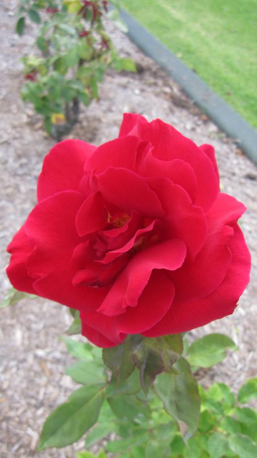 Rosa 'Mr Lincoln'