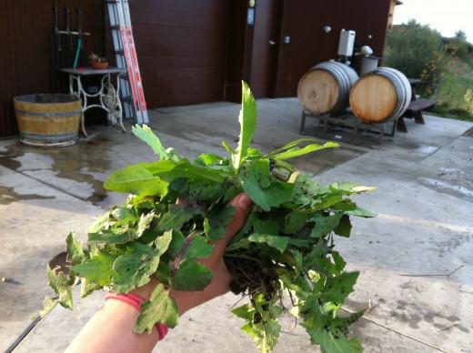 Chicory, picked fresh is full of antioxidants.