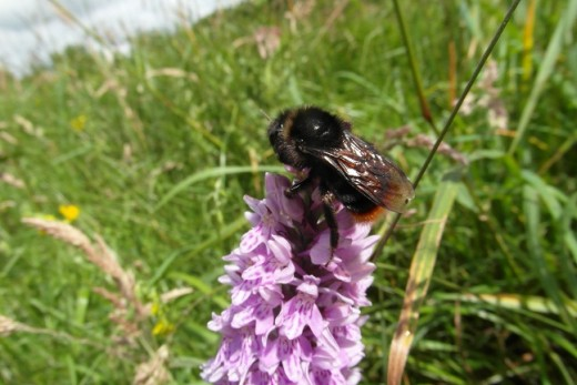 Red tailed cuckoo bee on common spotted orchid