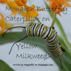 Monarch Butterfly Caterpillar on Yellow Milkweed