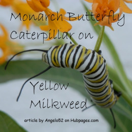 Monarch larva munches on yellow milkweed flowers.