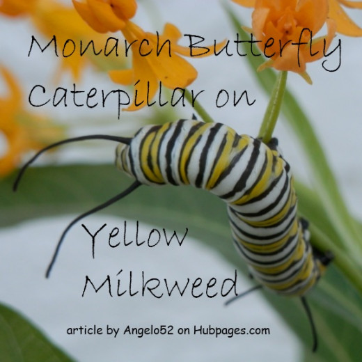 Monarch larva munches on yellow milkweed flowers.