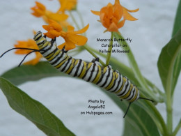 The monarch larvae shown with this article are near term.