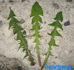 The jagged edges of dandelion's leaves inspired it's name.