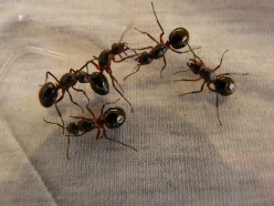 How to Kill Ants without Spraying Pesticides or Chemicals