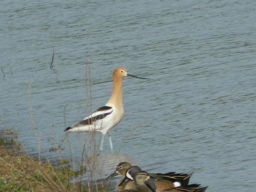 American Avocet with Blue-Winged Teals