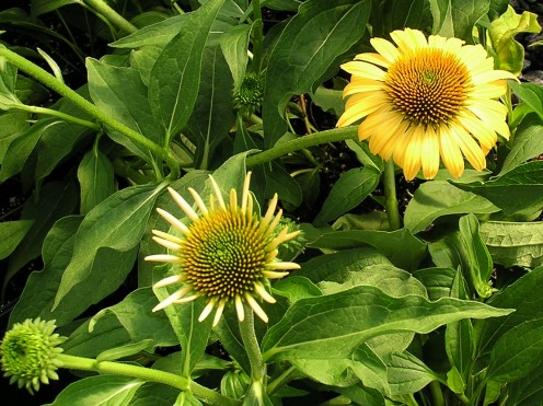 Echinacea Harvest Moon Open And Just Starting To Open