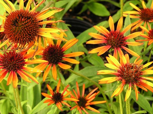 Echinacea Flame Thrower - A Hot New Introduction