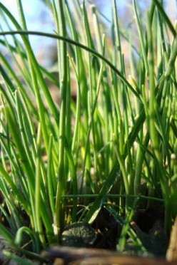 Edible Wild: You Can Eat Wild Onion Grass