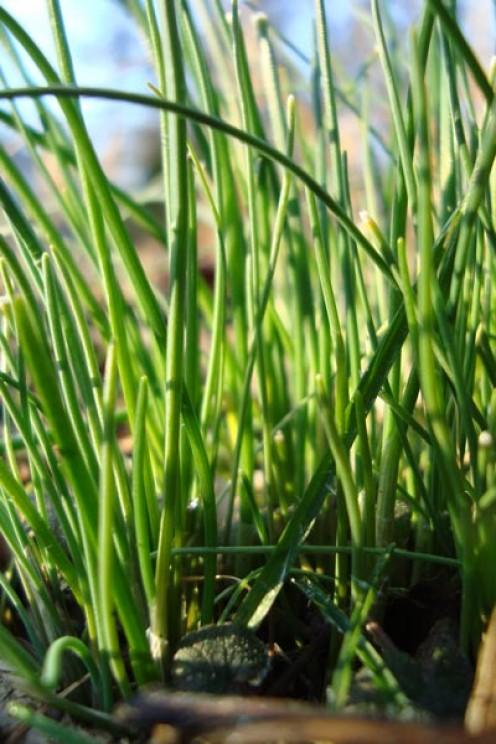 Edible Wild: You Can Eat Wild Onion Grass