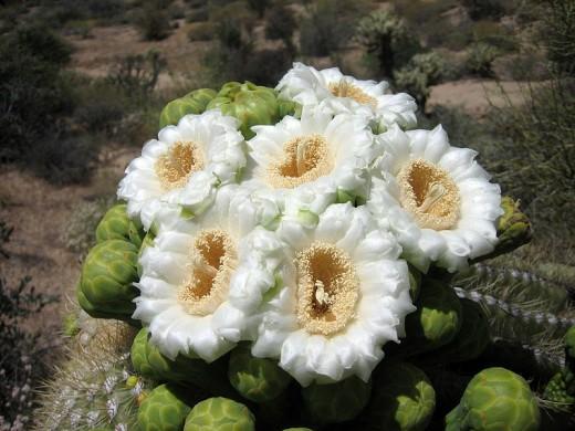AZ State Wildflower: Saguaro Cactus Blossom [7]