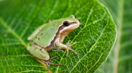 AZ State Amphibian: Arizona Tree Frog [8]