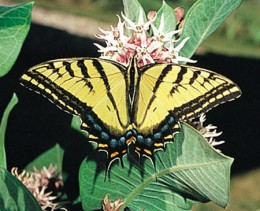 AZ State Butterfly: Two-Tailed Swallowtail [3]