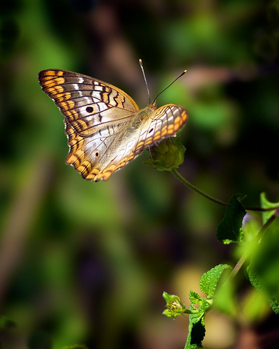 """""""Resting Butterfly"""" from jcroy5491 Source: flickr.com"""