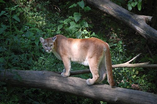 Cougar on the prowl. Watch out fellas! ;)