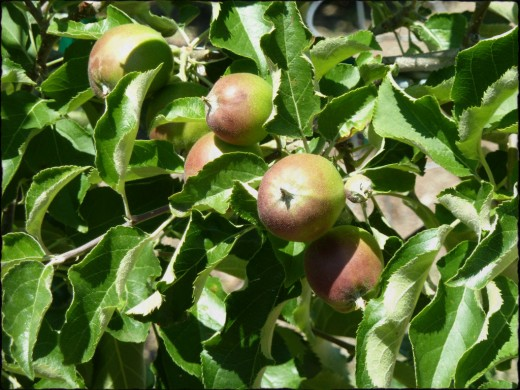 Apples grown in the community orchard by the barn are for all to share.