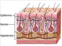 Cross section of skin, the basal cells are towards the bottom layer of the dermis.  Like a garden with all the follicules and sweat nodules, etc.