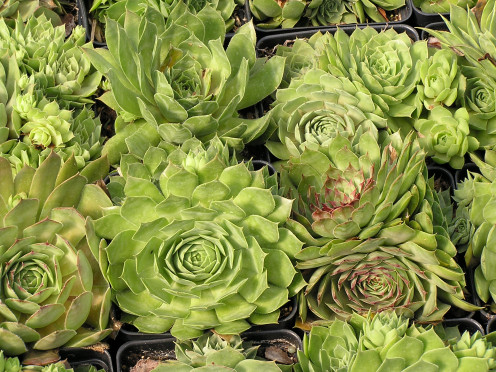 Grouping Of Sempervivum Ready For Market