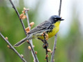 Kirkland Warbler