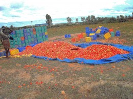 THERE IS SO MUCH TOMATO HERE THAT IT HAS TO BE SOLD AT ANY COST BE-FOUR IT GETS ROTTEN AS THERE IS NO COLD STORAGE IN HOSUR FOR THE FARMERS.